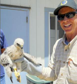 "PWC volunteer Bob Peak preparing to ""re-nest"" this Red-tailed Hawk nestling"