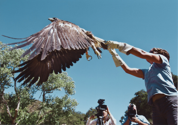 Releasing a Golden Eagle