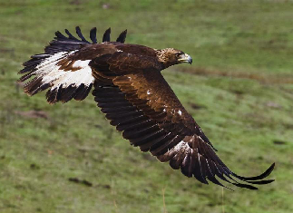 Golden Eagle Released