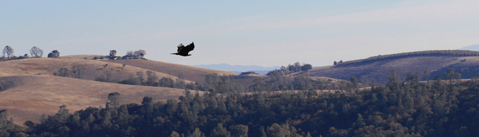 Golden Eagle Release in Creston